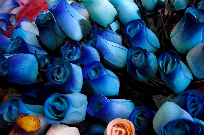 T  Tulo  Rosas Azules     Descarga Fotos Gratis